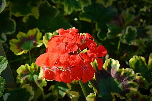 Geraniaceae, Pelagonium, Mrs, Pollock, Blossom, Bloom