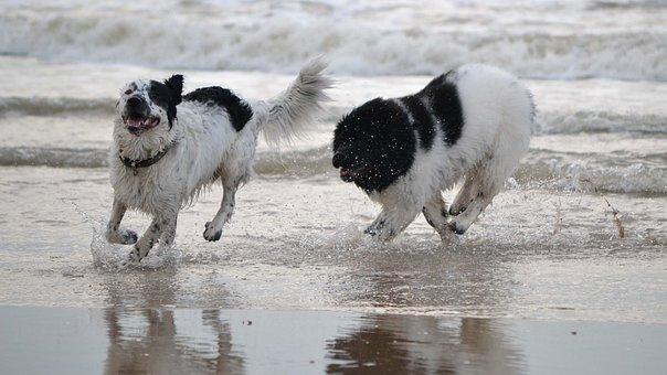 Dog, Beach, Play, Newfoundland, Newfie, Sea, Dogs