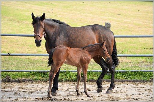 Farm, Horse, Horses, Foal, Foals, Animal, Animals, Barn