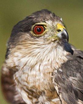 Striatus, Accipiter, Bird, Hawk, Shinnes, Sharp, Head