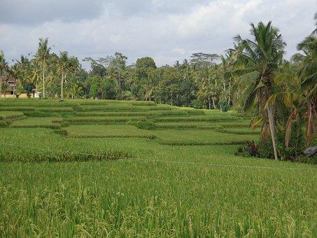 Bali, Ubud, Ricefields