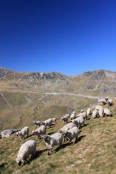 Flock, Sheep, Mountain, Romania, Animals, Roads, Travel