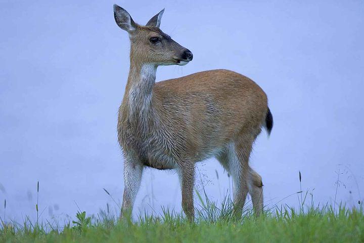 Sitkensis, Hemionus, Odocoileus, Animal, Deer, Tailed