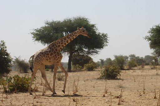 Giraffe, Savannah, Africa, Niger, Kouré, Look, Ambling