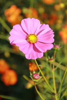 Flowers, Cosmos Flowers, Pink, Open