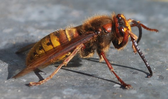 Hornet, Insect, Wasp Bee, Fly, Drawing Nature, Hive