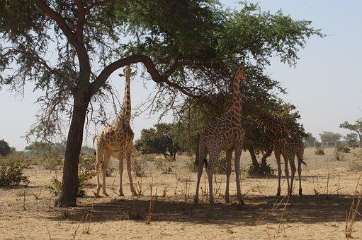 Giraffes, Animals, Wild, Niger, Kouré, Meals, Africa