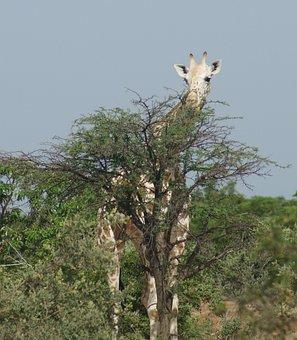 Giraffe, Animal, Wild, Kouré, Africa, Niger, Neck