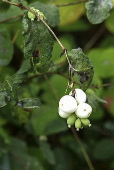 White, Common Snowberry, Symphoricarpas Albus