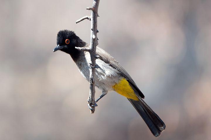 Mask Bada, Bird, Bada, Animal, Namibia