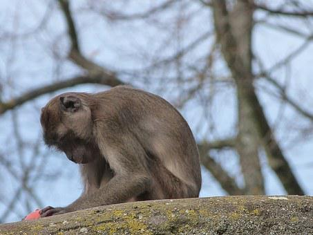 Macaque, Crabier, Monkey