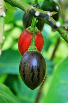 Tree Tomato, Green, Fruit, Juicy, Food, Ripe, Healthy