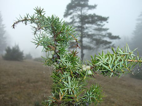 Juniper In The Fog, Spider Web In The Juniper, Juniper