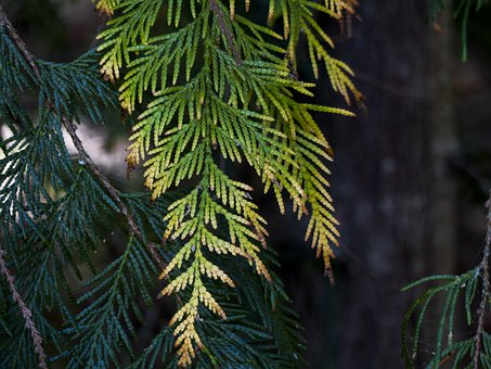 Cedar, Leaves, Close-up, Nature, Tree, Slow Growing