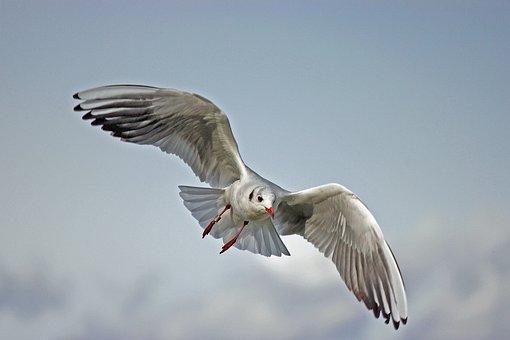 Seagull, Lake Balaton, Nature, Bird
