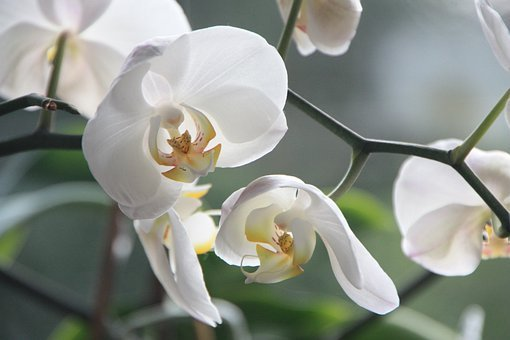 Orchid, Flower, Blossom, Bloom, White, Plant