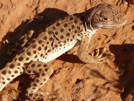 Iguana, Animal, Reptile, Desert, Fauna, Creature