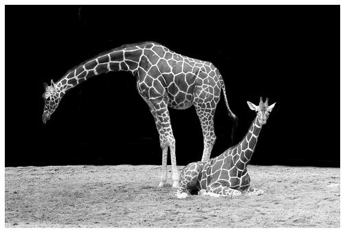Giraffe, Neck, Animal, Black And White, Zoo