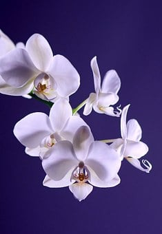 Orchid, Flower, Plant, Exotic, White, Tropical