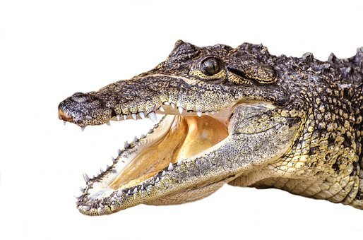 Swamp, Snout, Cold, Threatened, River, Carnivorous