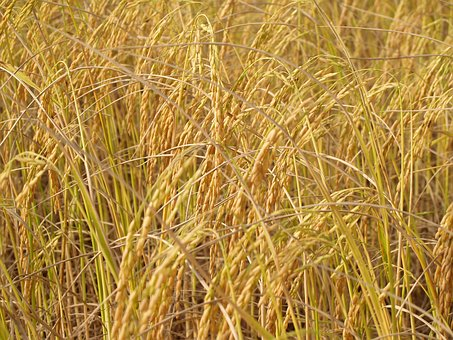 Agriculture, Asia, Autumn, Botany, Cereal, Cereal Plant