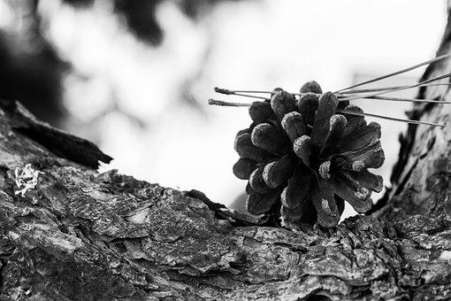 Cone, Strain, Nature, Forest, Bark, Needles