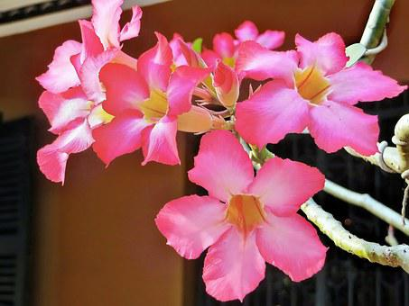 Viet Nam, Saigon, Flowers, Frangipani, Pink, Light