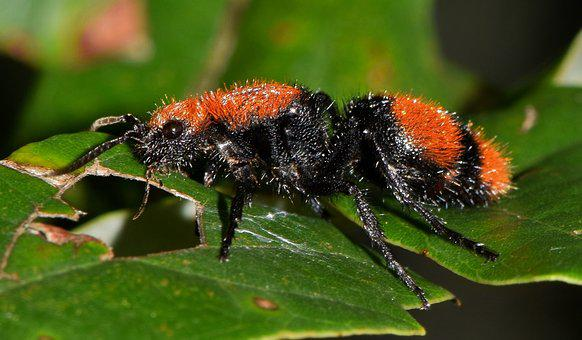 Wasp, Velvet Ant, Cow Killer, Cow Ant, Insect, Sting
