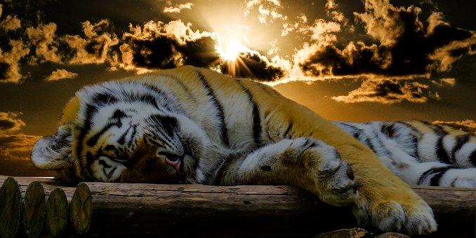 Tiger, Sleep, Rest, Cat, Good Night, Relaxation