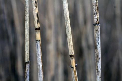 Macro, Reed, Close, Grass, Dry, Halm