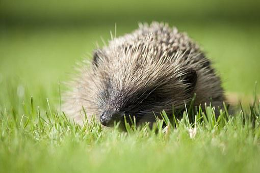 Hedgehog, English Garden Animal, Animal, British