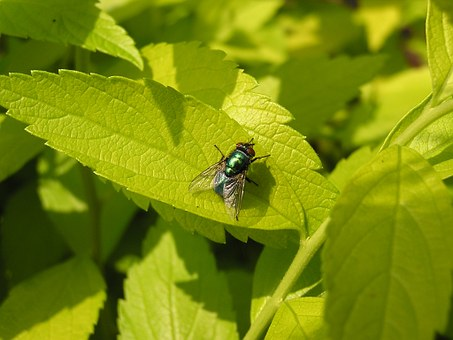 Green Bottle Fly, Fly, Leaf, Green, Nature, Plant