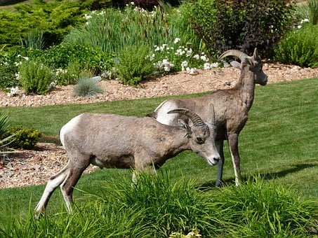 Mountain Sheep, Garden, Animal, Mammal