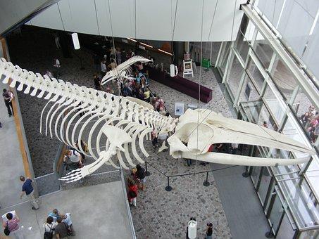 Stralsund, Ozeaneum, Whale Skeleton, Entrance Hall