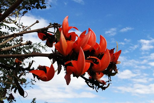 Butea Monosperma, Palash, Flame Of The Forest, India