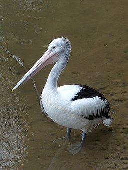 Pelican, Australian Pelican, Sea Birds, Bird