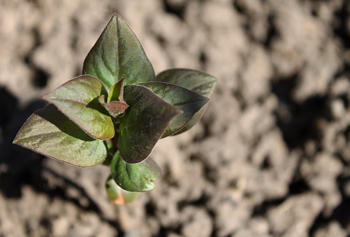 Lilac Sprout, Sprout, Plant, Small, Soil, Garden