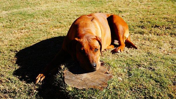 Rhodesian Ridgeback, Dog, Pet, Canine, Domestic, Doggy