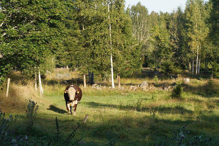 Cow, Bull, Bed, Forest, Nature, Animals, Green, Summer