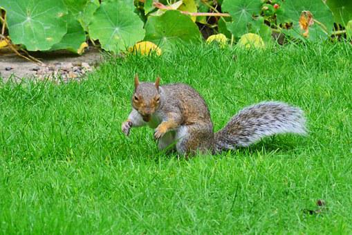 Grey Squirrel, Nut In Its Mouth, Rodent, Squirrel