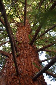 Mammoth Pine, Arboretum, Summer