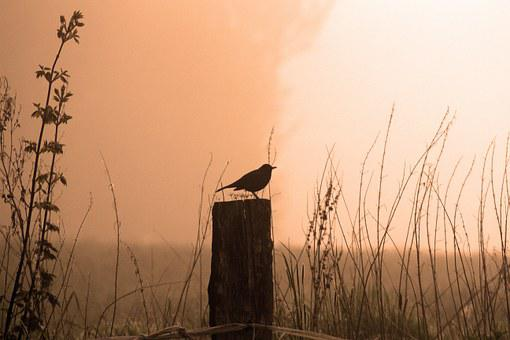 Blackbird, Morning, Sunrise, Fog, Bird, Tomorrow Song