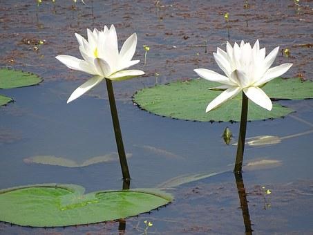 Twin Lilly, Lily, Natural, Water, White, Lake