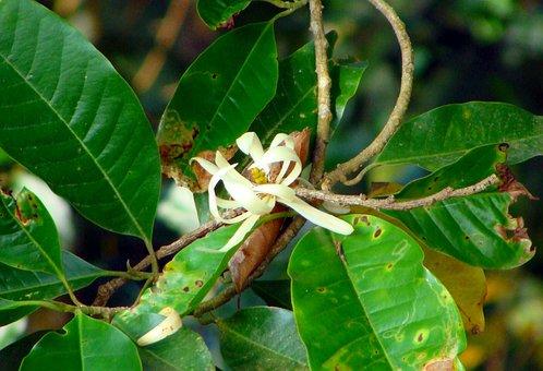 Michelia Champaca, Champa, Flower, Champak