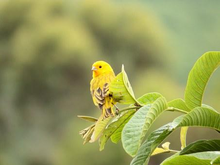 Canary, Bird, Nature, Psidium Guajava, Birdie