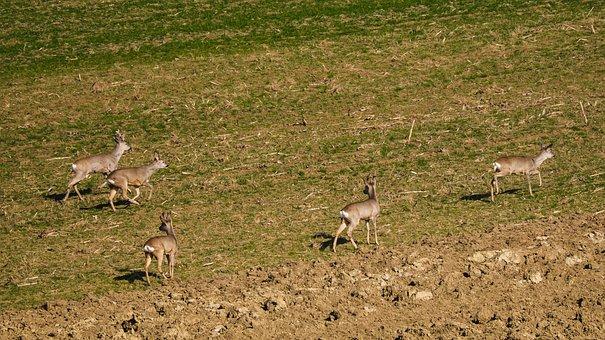 Deer, Feldrehe, Rehgruppe