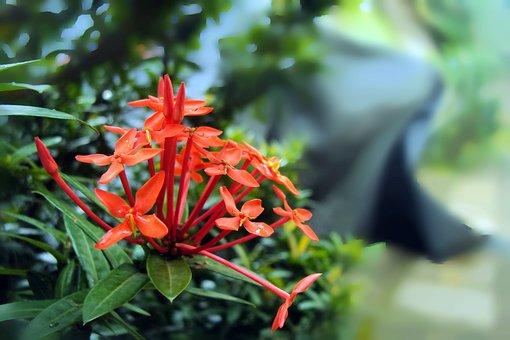 Santan Flower, Santan, Kanakambaram