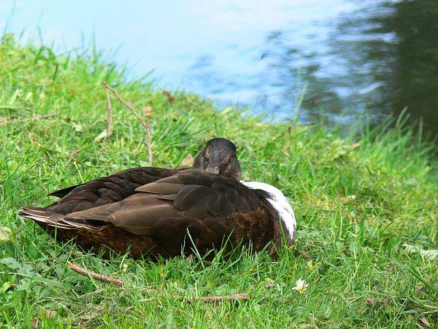 Duck, Sleeping Duck, Animal, Duck On Meadow
