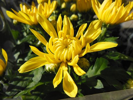 Plants, Flowers, Chrysanthemums, Yellow Chrysanthemums