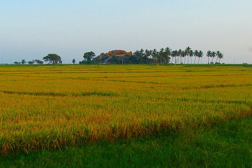 Rice Fields, Ripe Rice, Golden, Harvest-ready